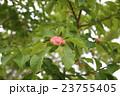 辛夷 モクレン科 モクレン属の写真 23755405