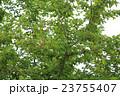 辛夷 モクレン科 モクレン属の写真 23755407
