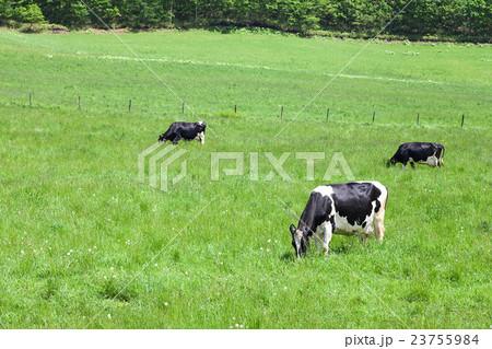 乳牛 23755984