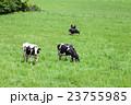 乳牛 牛 ホルスタインの写真 23755985