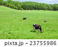 乳牛 牛 ホルスタインの写真 23755986