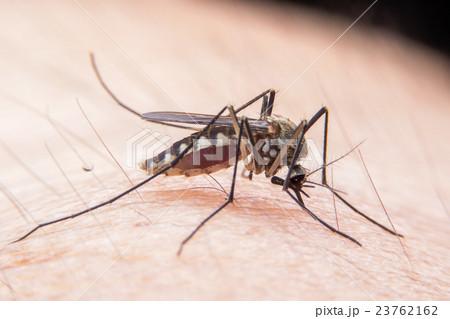 mosquito 23762162