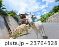 山羊 ヤギ 沖縄 ヒージャー 23764328