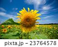 ひまわり 夏 向日葵の写真 23764578