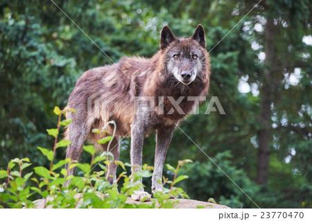 シンリンオオカミ 23770470