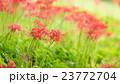 ヒガンバナ 23772704