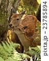 親子 鹿 野生動物の写真 23785894