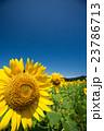 ひまわり 向日葵 ひまわり畑の写真 23786713