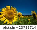 向日葵 ひまわり畑 花畑の写真 23786714