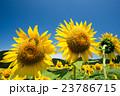 向日葵 ひまわり畑 花畑の写真 23786715