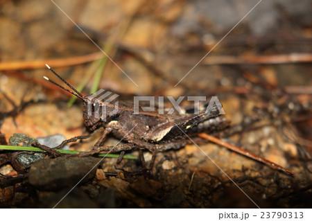 生き物 昆虫 オキナワモリバッタ、沖縄本島周辺にいるモリバッタの亜種。成虫になっても翅は短いまま 23790313