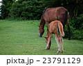 宮崎県最南端都井岬の馬の親子 23791129