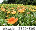 ポーチュラカのオレンジ色の花 23794505