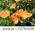 ポーチュラカのオレンジ色の花 23794506