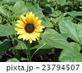 夏の花といえば黄色いヒマワリ 23794507