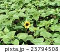 夏の花といえば黄色いヒマワリ 23794508