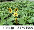 夏の花といえば黄色いヒマワリ 23794509