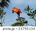 オレンジ色の背の高い花はカンナの花 23795134