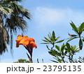 オレンジ色の背の高い花はカンナの花 23795135