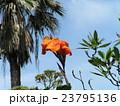 オレンジ色の背の高い花はカンナの花 23795136
