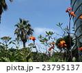 オレンジ色の背の高い花はカンナの花 23795137