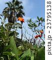 オレンジ色の背の高い花はカンナの花 23795138