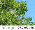 マメ科だと言う高木エンジュの白い花 23795140