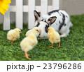 Rabbit playing with chickens in the garden. 23796286