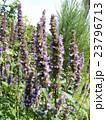アガスターシェの青い花 23796713