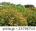 ルドベキアの黄色い花 23796715