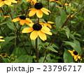 ルドベキアの黄色い花 23796717
