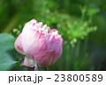 Pink Lotus flower 23800589