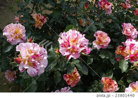 ピンクと赤のマーブル模様の薔薇 23801440