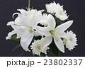 百合と菊 23802337