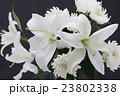 百合と菊 23802338