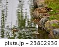 池に飛び込む子ガモ 23802936