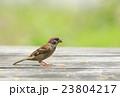 eurasian tree sparrow  23804217