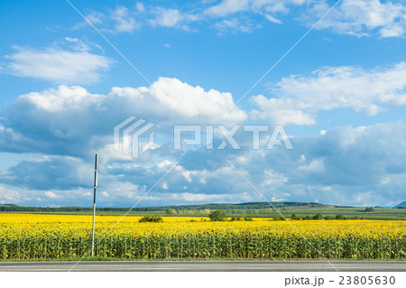 blue sky with white clouds over sunflower field 23805630