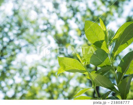 森の中の新緑 23808777
