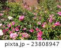 薔薇 花 咲くの写真 23808947