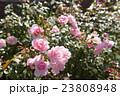 薔薇 花 咲くの写真 23808948
