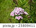 花 フロックス 花魁草の写真 23809411