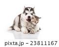 Cute siberian husky puppy cuddling cute kitten 23811167
