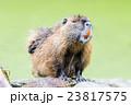 動物 ビーバ ビーバーの写真 23817575