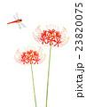 彼岸花と赤トンボ 23820075
