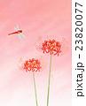 彼岸花と赤トンボ 23820077