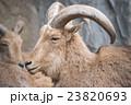 ammotragus lervia or barbary sheep at zoo 23820693
