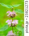 花 植物 シソ科の写真 23821273
