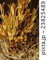 百合の花殻 23825489