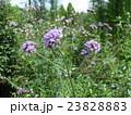 サンジャックバーベナの紫色の花 23828883